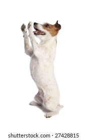 isolated jack russell terrier standing and begging over white background