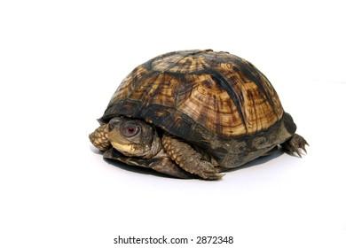 Isolated japanese Box turtle