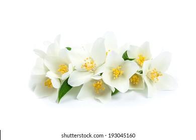 Isolated jasmine flowers