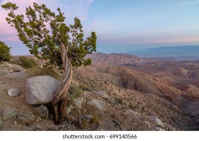 An isolated Juniper Tree at Keys View in California's Joshua Tree National Park
