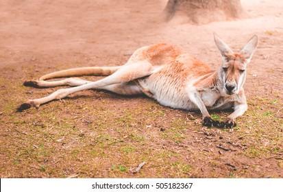 An isolated kangaroo nodding off to sleep in the sunshine.