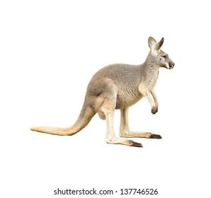 isolated kangaroo on white background