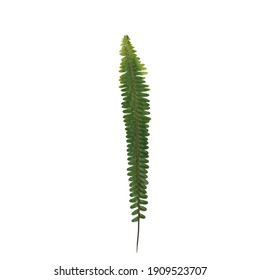 Isolated Ladder fern leaf on white background