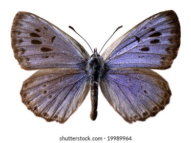 Isolated large blue butterfly (Maculinea arion)