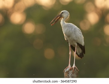 Isolated large wading bird  Anastomus oscitans  Asian Openbill stork standing on top of stake, grey and black feathers,colorful late afternoon backlight,blurred sunny background,nice bokeh. Sri Lanka.