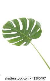 """Isolated leaf of """"Monstera deliciosa"""""""