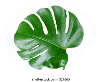 """isolated leaf  of  """"Monstera deliciosa"""" plant"""