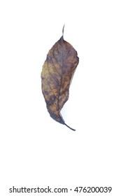 isolated leaf on white background - herbarium design