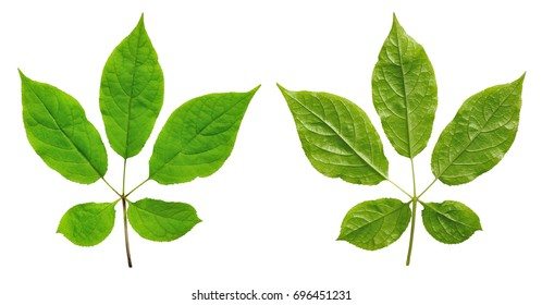 isolated leaf panax ginseng from both sides