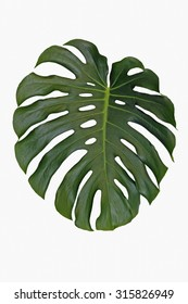an isolated leaf of split leaf philodendron, monstera deliciosa