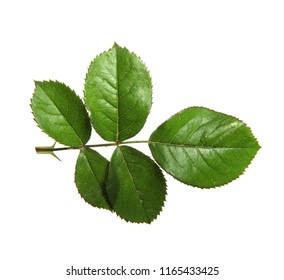 isolated leaves bush roses on a white background