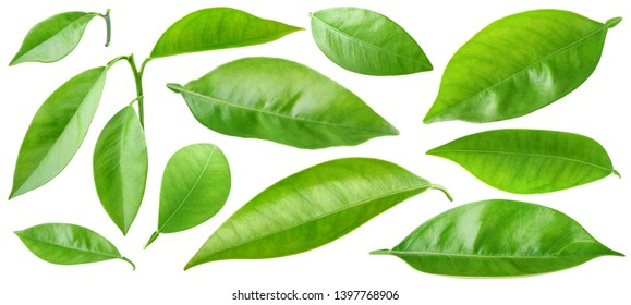 Isolated leaves. Collection of orange tree leaves isolated on white background with clipping path