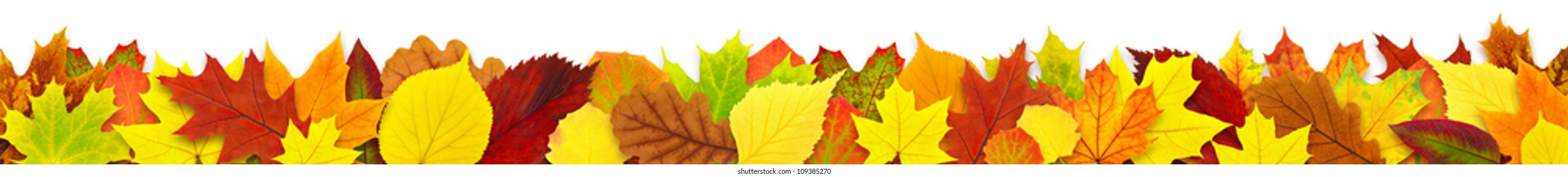 Isolated leaves. Long border with colorful autumn tree leaf isolated on white background