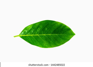 Isolated leaves on the white background.Jack leave,