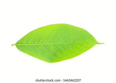 Isolated leaves on the white background.Jack leave,Fresh leaves.