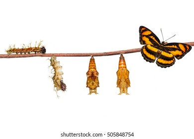 Isolated life cycle of colour segeant butterfly ( Athyma nefte ) from caterpillar and pupa on white with clipping path