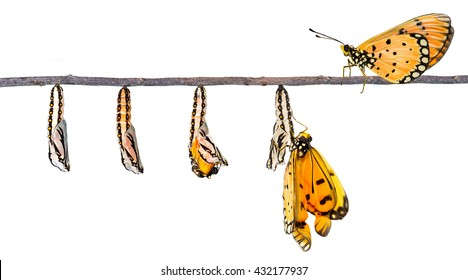 Isolated life cycle of Tawny Coster transform from caterpillar to butterfly with clipping path