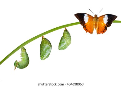 Isolated life cycle of Tawny Rajah butterfly with caterpillar and chrysalis on white with clipping path