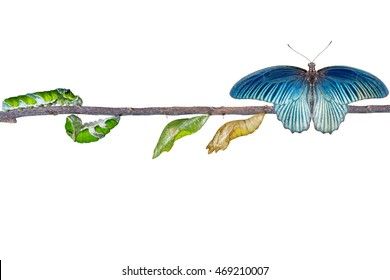 Isolated life cycle and transformation of male great mormon butterfly from caterpillar with clipping path