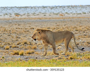 An isolated Lion strolling across the dry dusty plains in Etosha