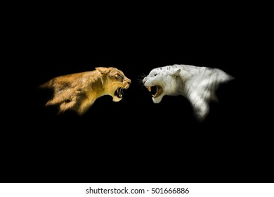 Isolated Lion and White Tiger Roaring at Each Other