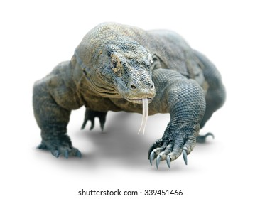 Isolated lizard. Giant lizard (comodo dragon) walks looking dangerously at camera, isolated on white background with clipping path