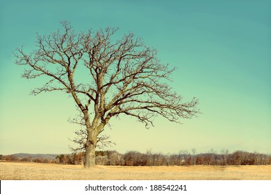 A isolated, lone old Oak tree has gnarly twisted bare branches in late winter, early spring in a Midwestern countryside.  Vintage style coloring.