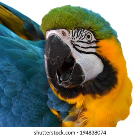 Isolated Macaw Face
