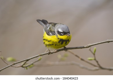 Isolated Magnolia Warbler bird perched on a tree with spring buds during migration north.