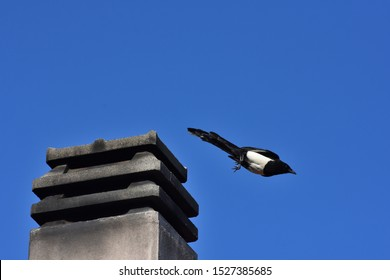Isolated magpie, also known as the Eurasian magpie (Pica pica) in an urban environment.