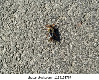 An isolated  male cockchafer lies on its back on the asphalt. The breeding season of May bug, zoological background, concept of entomology