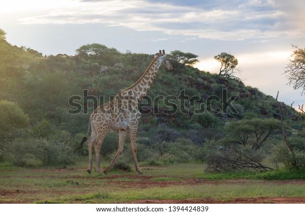 isolated-male-giraffe-giraffa-cape-600w-