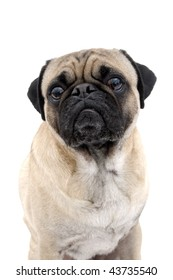 Isolated Male Pug