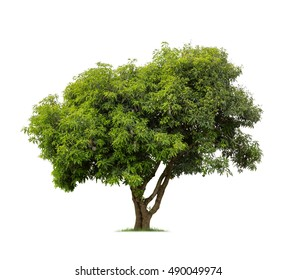 Isolated mango tree on white background