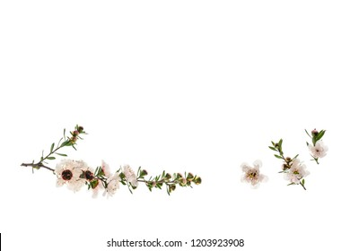 isolated manuka flowers on white background with copy space