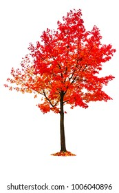 isolated maple tree, red leaf in autumn season