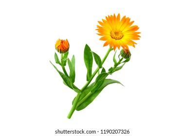 Isolated Marigold. Calendula Officinalis.