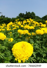 Isolated Marigold flower against blurry background of others and blue sky.