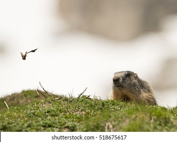 Isolated marmot portrait ground hog on mountain background with a butterfly