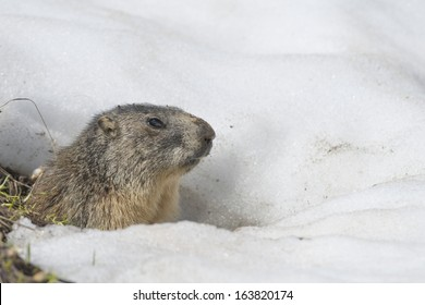Isolated Marmot while running on the snow background in winter