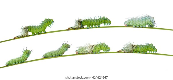 Isolated molting caterpillar of Atlas butterfly ( silk moth ) with clipping path