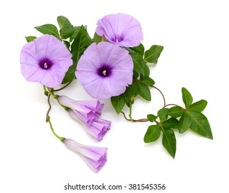 Isolated Morning Glory with vines and leaves on a white background