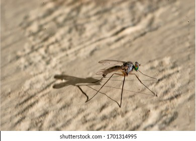 Isolated mosquito on an ocher background Located on the wall of an urban garden