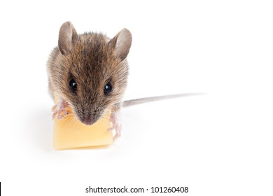 isolated mouse with cheese