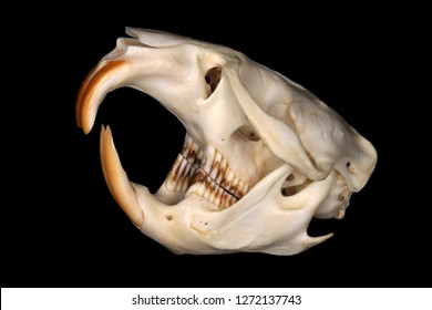 Isolated muskrat (Ondatra zibethicus (Linnaeus, 1766)) skull (sublateral view) against a black background