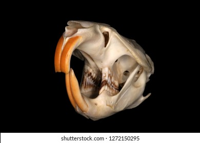 Isolated muskrat (Ondatra zibethicus (Linnaeus, 1766)) skull (subfrontal view) against a black background
