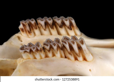 Isolated muskrat (Ondatra zibethicus (Linnaeus, 1766)) maxillary teeth (sublateral view) against a black background