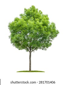 Isolated narrow-leafed ash tree on a white background