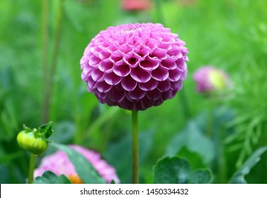 Isolated natural pink dahlia flower on green background. flowers purple dahlia, buds close-up. green background Beautiful pink Dahlia flower close up photo at nature with a green background Dahlia