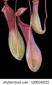 isolated nepenthes carnivorous plant on black background